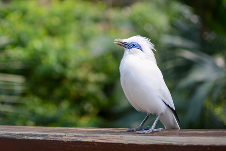 Bali myna, known by the scientific name Leucopsar rothschildi, singing a song Stockfoto