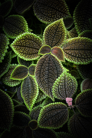 Friendship plant leaves, known by the scientific name Pilea involucrata