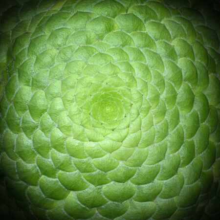 Symmetrical center of a saucer plant, known by the scientific name Aeonium tabuliforme Stockfoto