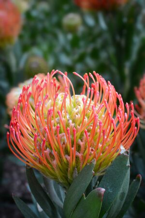 Pincushion flower head, known by the scientific name leucospermum