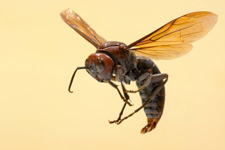 Giant brown paper wasp, known by the scientific name Polistes gigas Foto de archivo