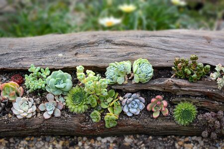 Assorted cute succulent plants growing on a log