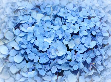 Floral background of bright blue hydrangea flowers, also known as hortensia