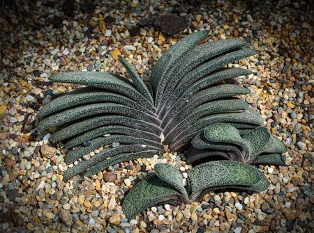 Young Gasteria baylissiana, a species of succulent flowering plant Stockfoto