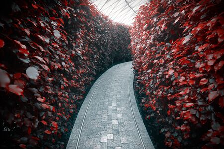 Quiet pathway in a garden maze of tall red hedges Stockfoto
