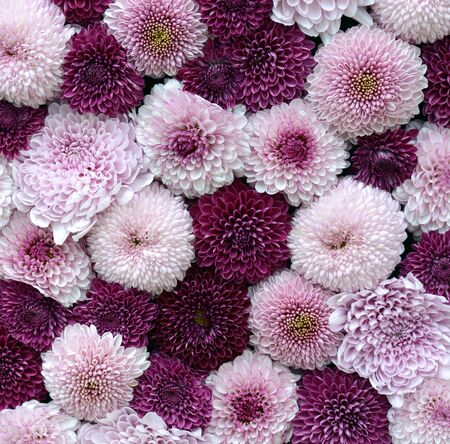 Lovely floral pattern of pink and purple chrysanthemum flowers for a square background