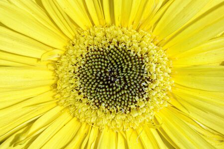 Macro of the bright yellow center of a beautiful Gerbera daisy flower