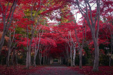 Path through a tunnel of crimson red maple trees during autumn in Sapporo, Japan Foto de archivo