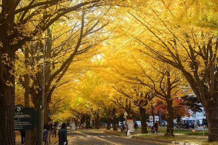 Tourists flock to Ginkgo Avenue at Hokkaido University in Sapporo for incredible autumn foliage