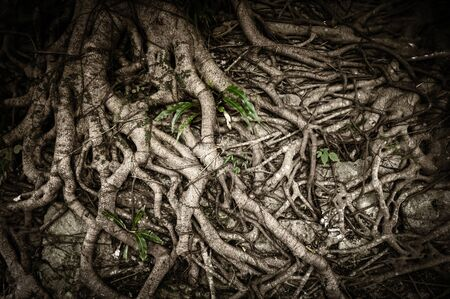 Organic nature background of tangled and twisted tree roots Foto de archivo