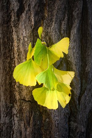 Tuft of leaves from a ginkgo biloba, or maidenhair tree, changing color from green to yellow for autumn