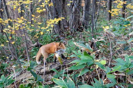 Wild red fox hunting for prey in Sapporo, Japan Foto de archivo