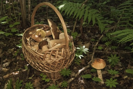 eatable: Basket with mushrooms. Group of boletus in the forest. Good harvest of eatable fungus Stock Photo