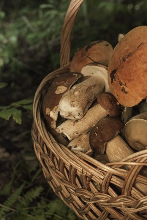wild mushrooms: Basket with mushrooms. Group of boletus in the forest. Good harvest of eatable fungus Stock Photo