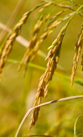 rice crop: Yellow grain ready to harvest.