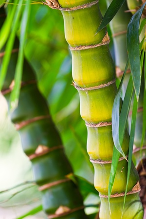 occurs: Any short bamboo occurs naturally in Thailand