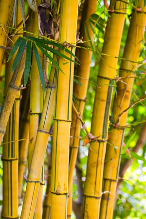occurs: Yellow Bamboo occurs naturally in Thailand Stock Photo