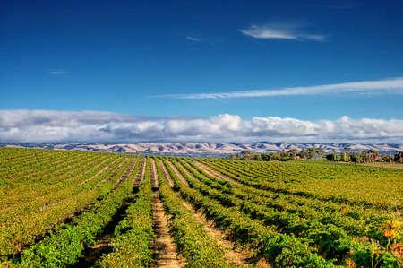 South Australia Vineyard  photo