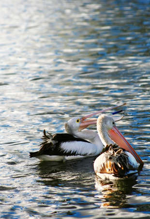 A Pair of Pelican photo