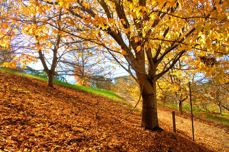 lofty: Autumn Yellow Tree and the ground fully covered with dried leaves  Stock Photo