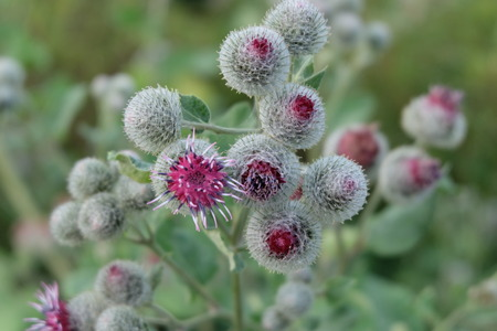 Close up of the blooming thistle photo