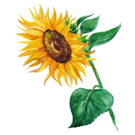 pedicle: sunflower vector flower pedicle nature illustration yellow summer bright natural flora beautiful Illustration