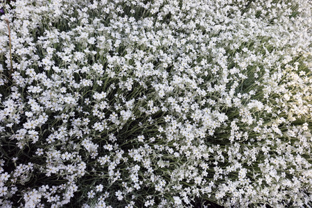 Many white small  flowers in top view of meadow photo