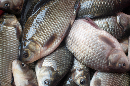 carassius gibelio: Many small crucian carp caught on fishing close-up