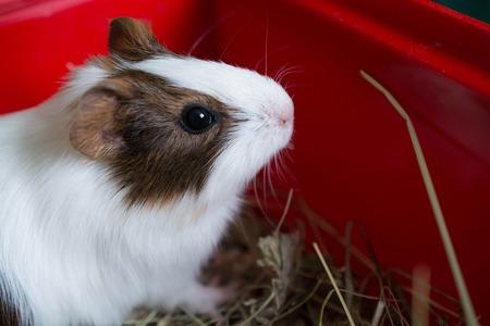 guinea: closeup of guinea pig