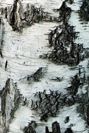 bark peeling from tree: Birch Bark Texture Stock Photo