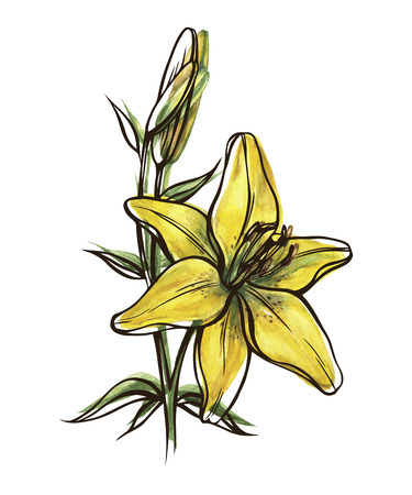 abloom: yellow lily flower with bud isolated on white background