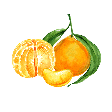 Hand drawn watercolor tangerine fruit with stem and leaves sketch. Vector illustration isolated over white.