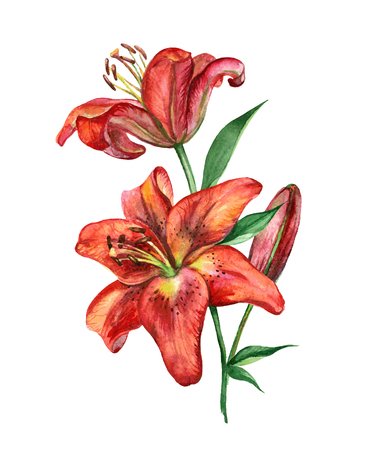 Hand drawn watercolor vector illustration with red lily flowers.