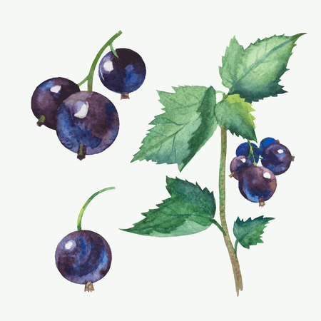 Hand draw watercolor vector black currant. Иллюстрация