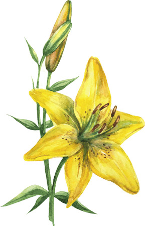 Watercolor lily flower closeup isolated on white background. Hand painting on paper. Illustration