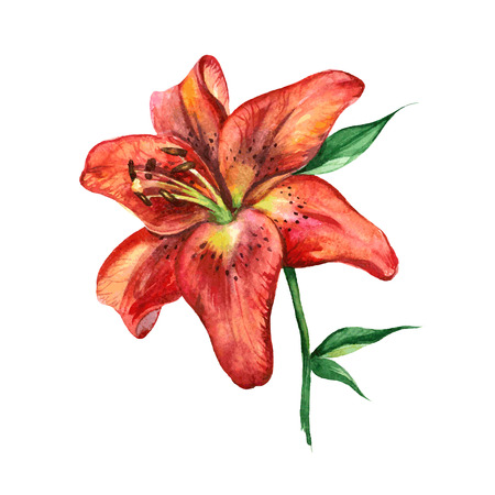 Watercolor lilies, scalable vector drawing.