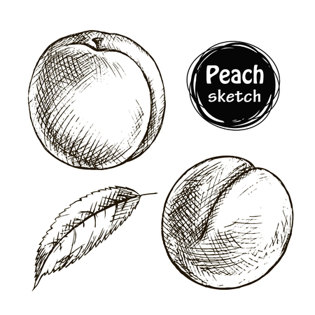 Sketch of the whole peach. Hand drawn vector illustration. Fruit collection.