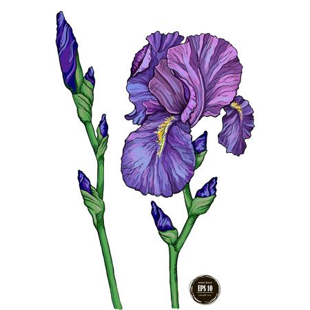 Flores de iris de jardín de verano, ilustración vectorial Ilustración de vector