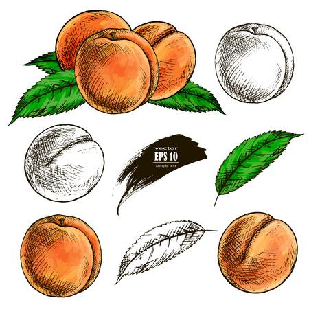 fruit peach set hand drawn llustration realistic sketch Stock Illustratie