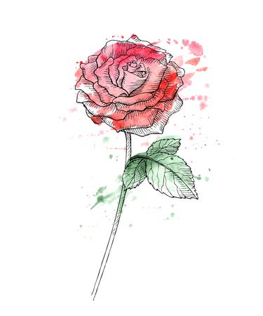 Rosa disegnata a mano dell'acquerello.