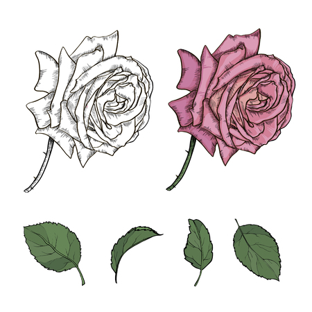 illustration with different styles of rose isolated on white background