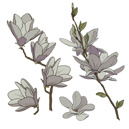 Color drawing of a branch of magnolia with flowers and leaves. Vector isolated on background. Illusztráció
