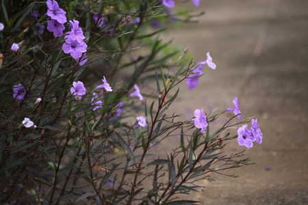 lamiales: The ruellia tuberose are growing on the footpath  Stock Photo