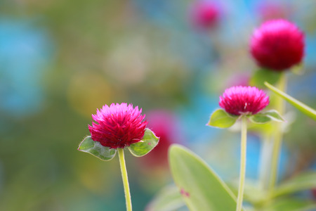 globosa: The Globe Amaranth are growing near the footpath