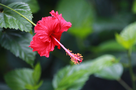malvales: The red hibiscus is blooming   Stock Photo