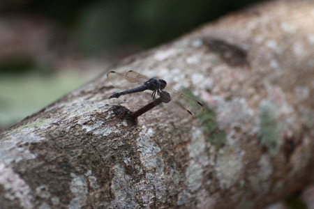anisoptera: The dragonfly is holding on the nail.