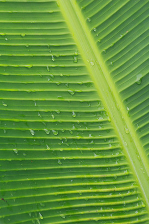 There are drops on banan leaf.Looks fresh after raining. Imagens