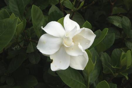 Gardenia jasminoides is a shrub tall and like sunlight.