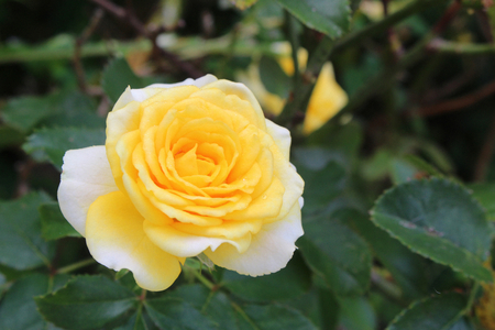 yellow rose is blooming look so beautiful.