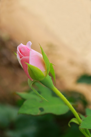 The furl pink rose which have drops on the petal. 版權商用圖片 - 31834816